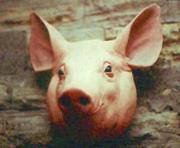 Закупаем свиные и говяжьи головы по безналичному расчёту.