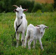Козы c молодыми козлятами