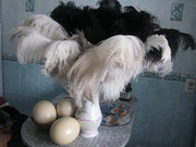 Продам яйцо страуса 8 руб. филе мяса страуса 15 руб.  жир 100мл. 3 р.