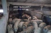 Покупаем ОПТОМ от 100 голов свиней живым весом 100 - 120 кг.