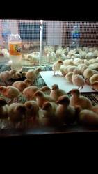 Cуточные и подрощенные  цыплята индюка БИГ 6