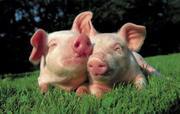 Свинина живым весом домашняя без химии