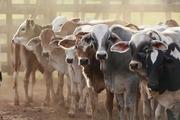 Закупаем крупно-рогатый скот,  лошадей живым весом,  быстро и дорого