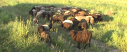 Продаю овец. д. Трощаны,  Островецкий район.