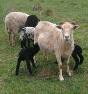 Бараны и котные овцы