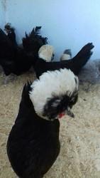 цыплята ливенской-ситцевой