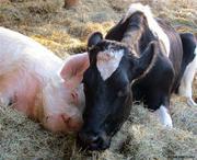 Оборудование,  инструменты и материалы для свиноводства и скотоводства
