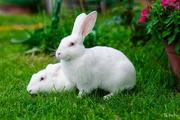 Кролики пароды Паннон